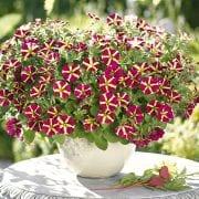 Sinnliche Sissi - Pflanze des Jahres 2017 (Quelle: Florensis)