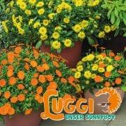 Pflanze des Jahres 2018: Luggi - unser Sunnyboy
